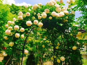 バラを綺麗に咲かせる方法を知っている専門業者ニワナショナル