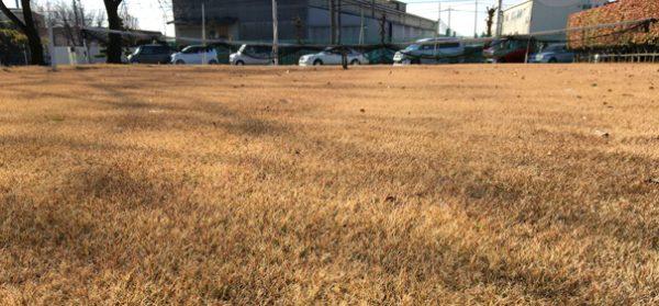 12月の芝生。茶色いですが刈っているので綺麗です。