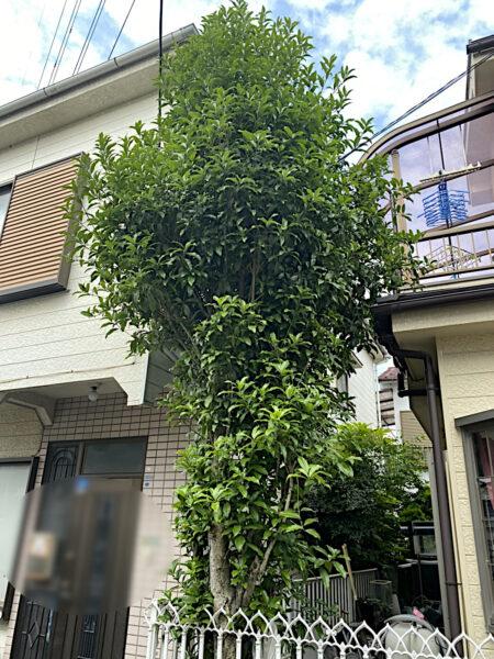 キンモクセイ(金木犀)の強剪定/東京都足立区
