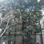3.16 世田谷区 マンション中庭 伐採