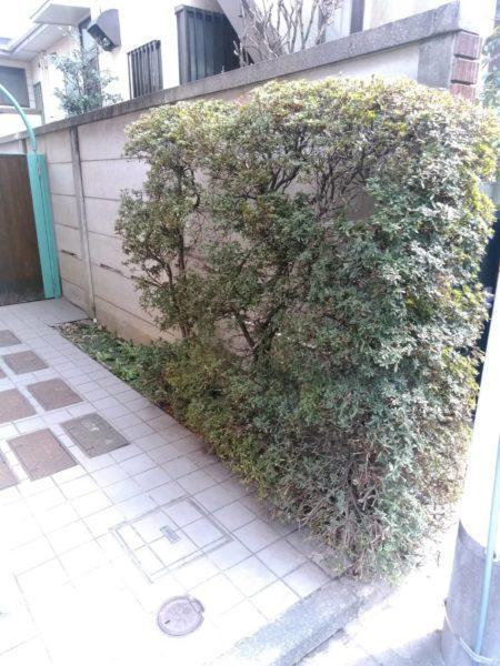 3.16 世田谷区 マンション中庭 ツツジ 剪定