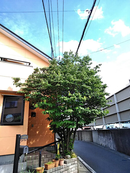 【庭木の剪定】ヤマボウシの剪定/埼玉県上尾市