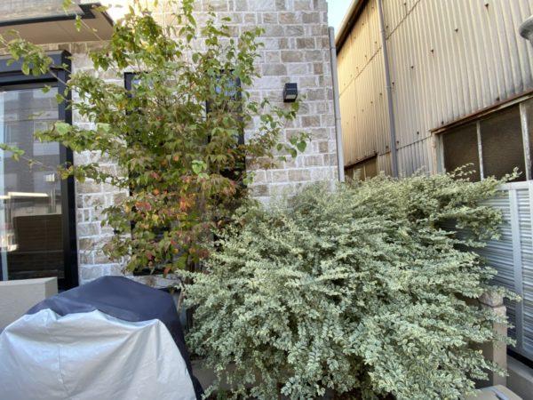 ハナミズキの剪定、プリペット抜根、草取り/川口市