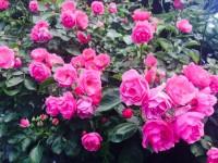 rosemaintenance
