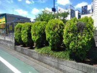 三鷹市庭木伐根