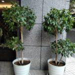 観葉植物植え替え