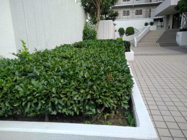 マンション植栽刈り込み草刈り
