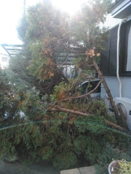 11.4さいたま市コニファー伐採伐根シマトネリコ植樹