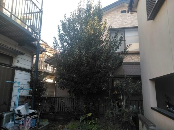 1.16 上尾市 剪定 月桂樹 高さ下げ