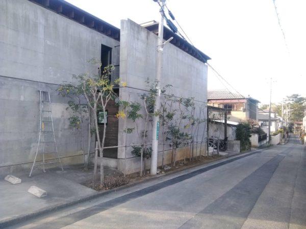 1.6 桜区 シマトネリコ高さ下げ+剪定