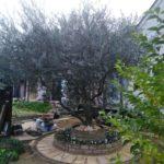 オリーブの剪定とジューンベリーの抜根/桶川市