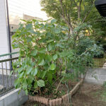 【庭木の剪定】ナンテン、アジサイ、モミジ、ヤツデの剪定/埼玉県上尾市
