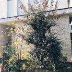11.30 目黒区 玄関前植栽 シンボリックな植木整形剪定