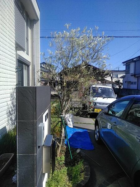 オリーブの剪定と支柱の立て直し/埼玉県加須市