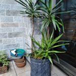 観葉植物の植え替えと前回作業から2ヶ月後の様子/世田谷区