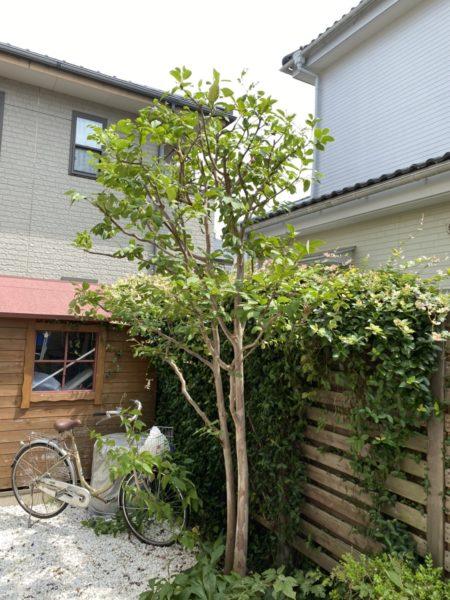 庭木(コニファー、ハナミズキ、シャラなど)の剪定/蓮田市