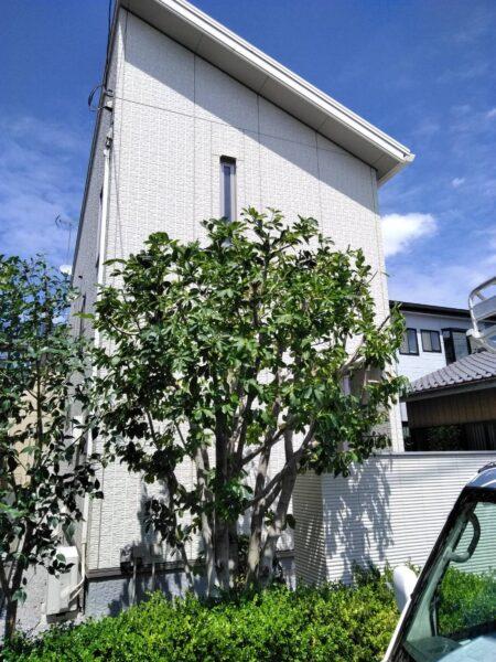 レモン・コブシ・コデマリの剪定作業と除草作業/埼玉県桶川市