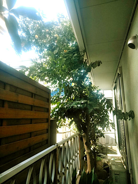 シャラ(夏椿)、グレープフルーツの木の伐採/上尾市