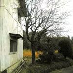 カキとモチの木の伐採作業/桶川市