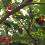 ジューンベリーの実を収穫しました
