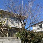 ハナミズキとカキの木の剪定/北本市