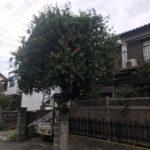 ブラシの木の高さ下げ剪定/上尾市