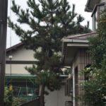 マツの木の伐採/蓮田市