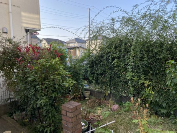モッコウバラ他庭木の剪定、固まる土処理、芝刈り、ツタ取り/上尾市