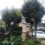 庭木の剪定・刈り込み(カシ、モミジ、ベニカナメ、トキワマンサク)/さいたま市緑区