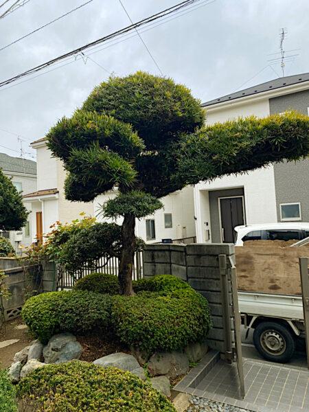 【和風の庭木の剪定】モチ・マキ・キャラの剪定・刈込と消毒/上尾市
