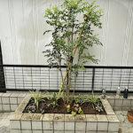 植栽スペースへのシマトネリコの植樹と草花の植栽、抜根作業/東京都文京区