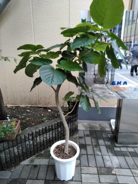 7.24 杉並区 観葉植物植え替え作業 オーナーチェンジプロジェクト