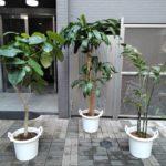 観葉植物の植替え&オーナーチェンジプロジェクト/杉並区
